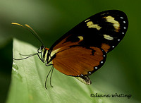 Tiger Longwing_ Heliconious hecale