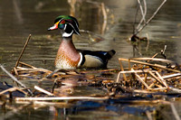 Wood Duck Coming In