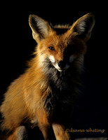 Fox in Morning Light