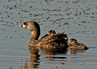 Grebe with 4 babies