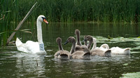 Swans with young
