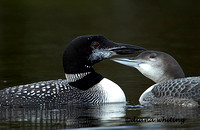Loon with Young Oct