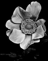 Anemone in Black & White
